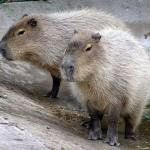 Capybara Catapult