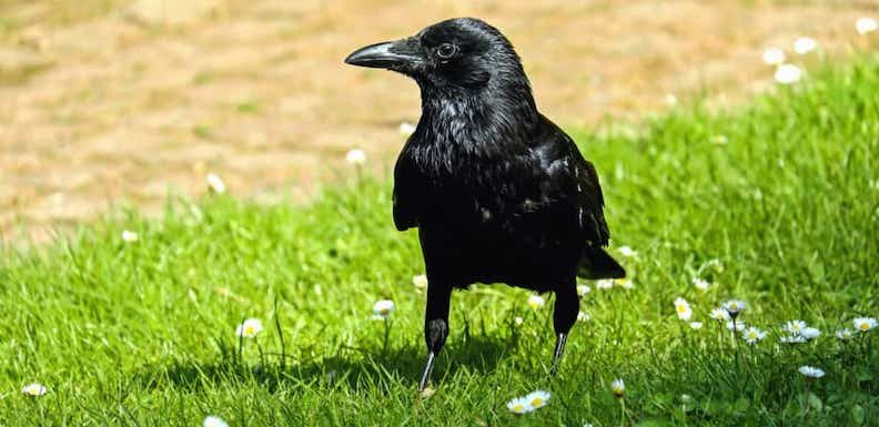 Things That Are Neat: Crows!